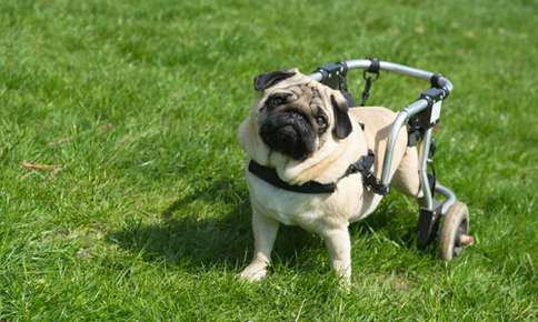 Dog with a wheel chair