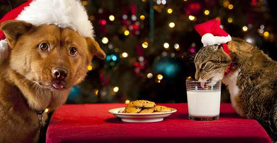Dog with a Santa hat in front of a plate of cookies and a cat licking milk out of a glass