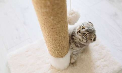 Cat with ears down looking at a scratching post