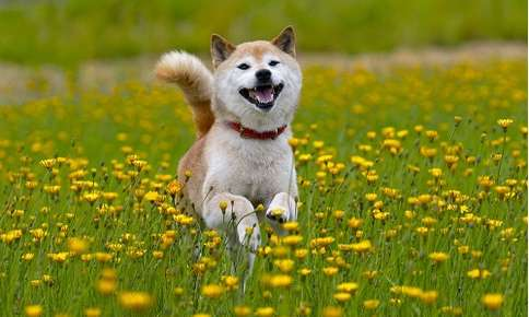 Shiba Inu running through a field of flowers