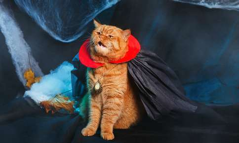 cat in vampire costume